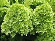 hydrangea_paniculata_limelight_1